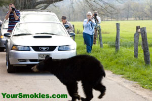 Black bear crosses the Cades Cove Loop Road