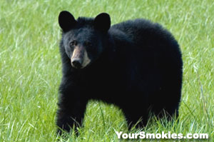 Black bear in the Smoky Mountainshttp://www.yoursmokies.com/i/