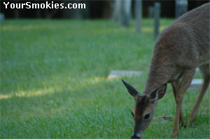 A female deer (doe) grazing in the Baptist cemetery.