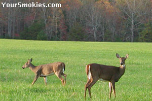 2 deer in a field with fall colors