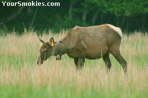 Female Elk Cow in the Smoky Mountains