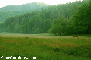 Elk in a field in the Cataloochee area