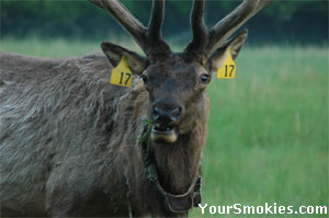 Male bull Elk in the Smoky Mountains