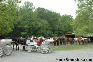 Horses and horse drawn carriage rides in Cades Cove in the park.