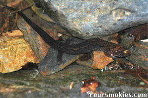 Smokies are the Salamander Capital of the World